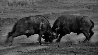 buffalo-fight-3